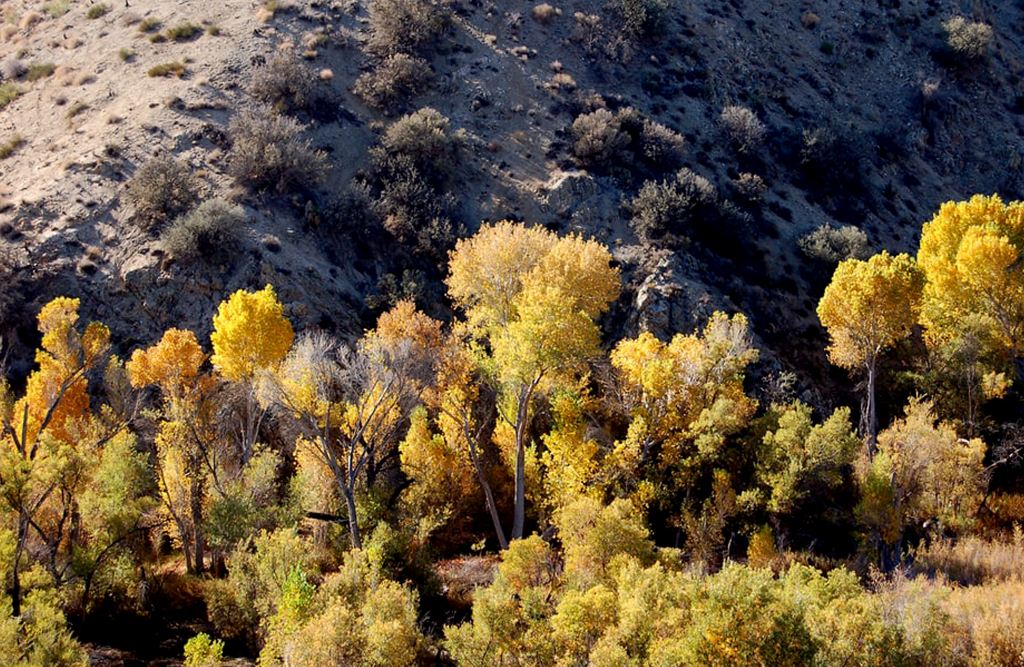 Native yellow flowers at Big Morongo Canyon Preserve.