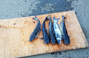 Five catfish lie on a cutting board after being caught at Prado park.