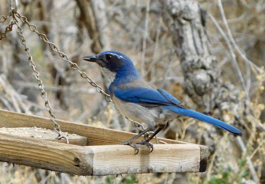 blue bird at Big Morongo