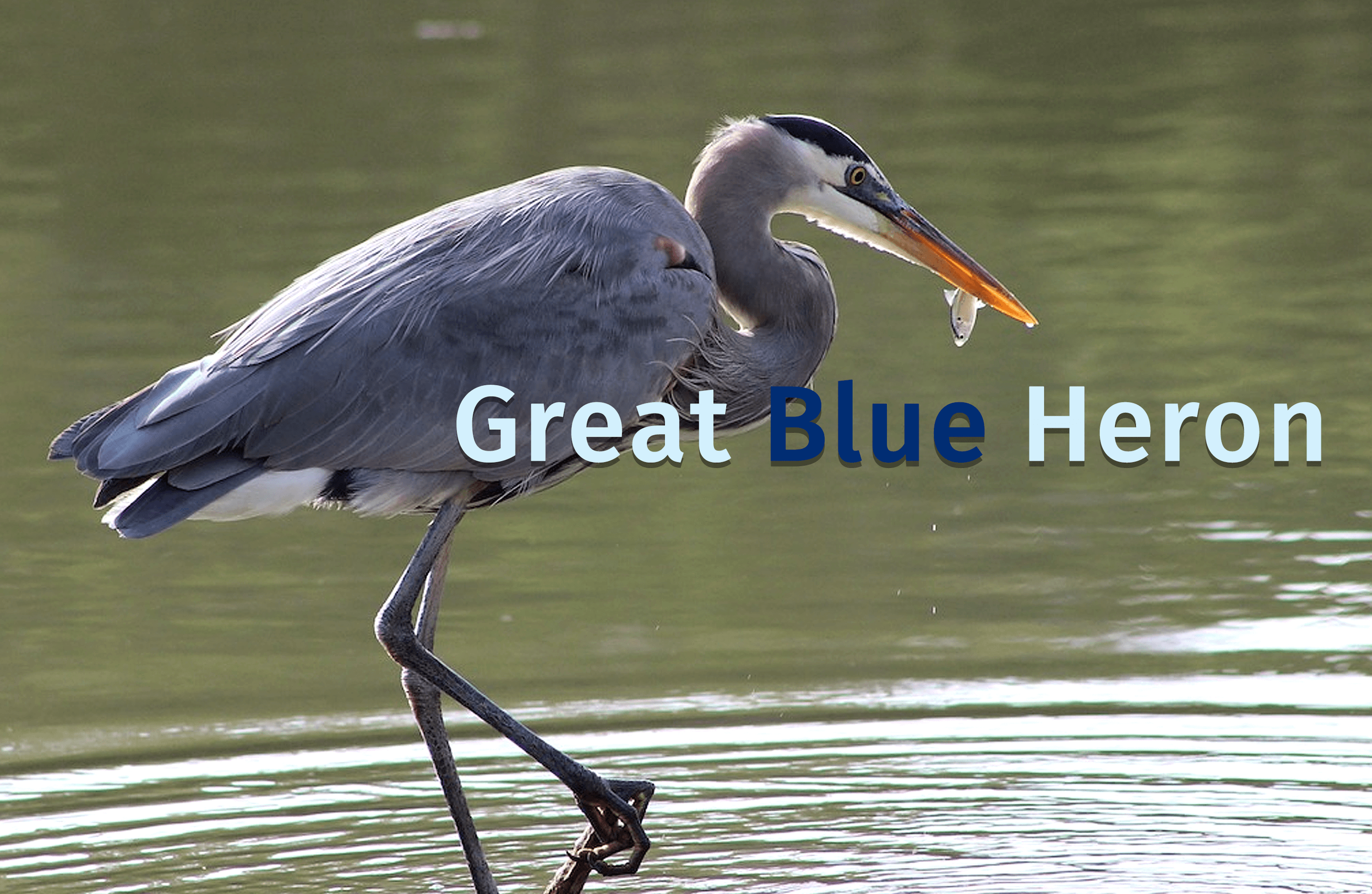 A blue Heron bird stands in a shallow pid iwth a little fish in hi mouth. The words Great Blue Heron are typed over the photo.