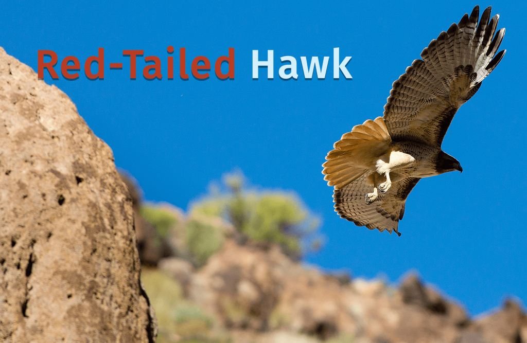a Red-Tailed Hawk flys to the right of some canyon boulders against a blue sky with the words Red-Tailed Hawk written over the photo.