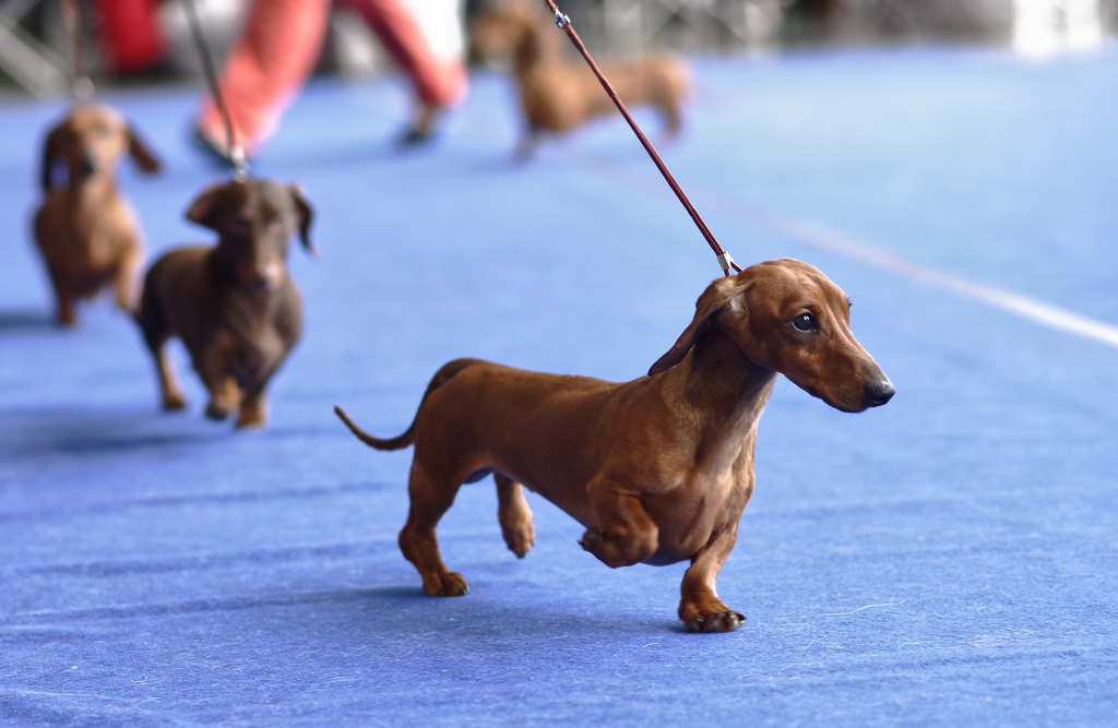 Red-brown Dachshund dogs on a leash look out.