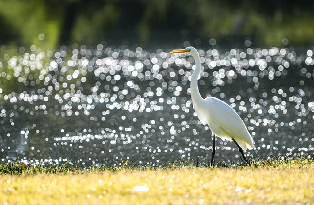 A white egret stands near Mojave Narrows lake.