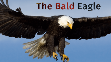 A bald eagle is flying in the air with its wings spread and the words the bald eagle is written over the photo.